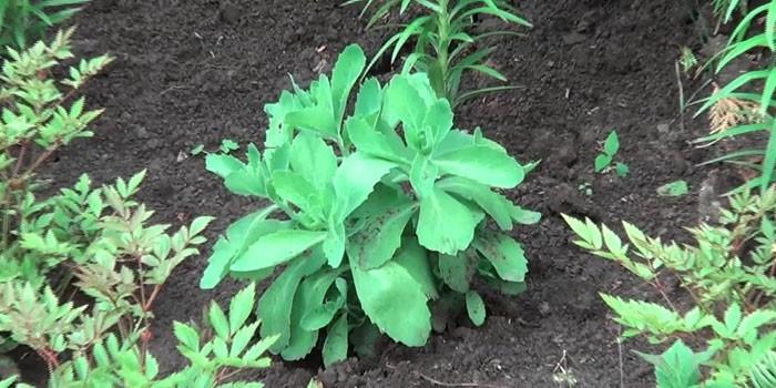 Растение заячья капуста на грядке