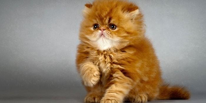 Рыжий котенок персидской породы