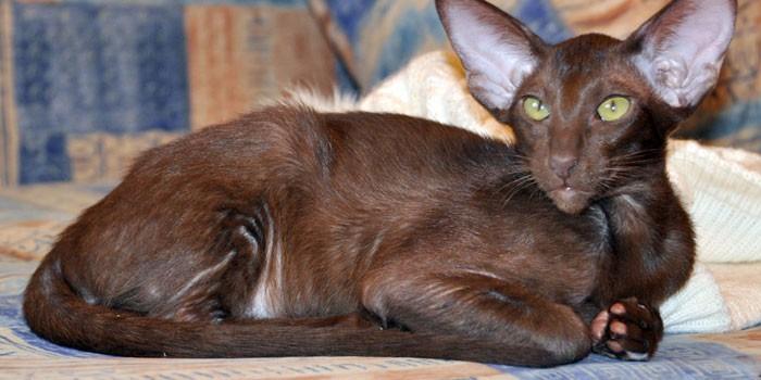 Кот шоколадного окраса