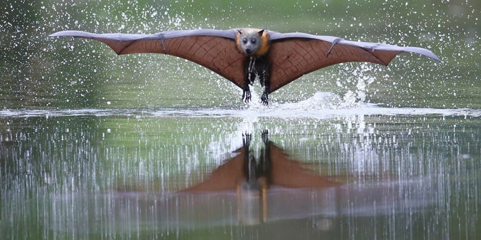 Летучая лиса