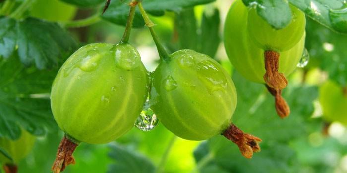 Незрелые ягоды крыжовника