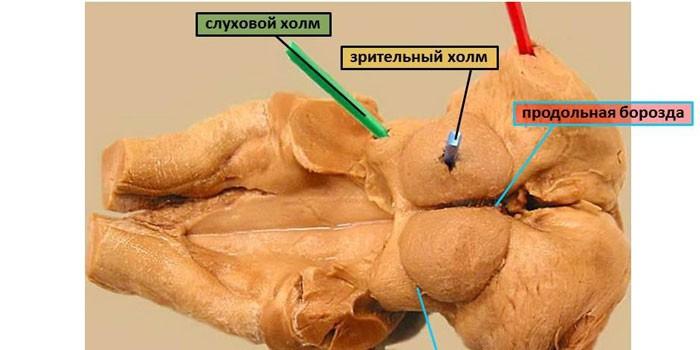 Пластинка четверохолмия