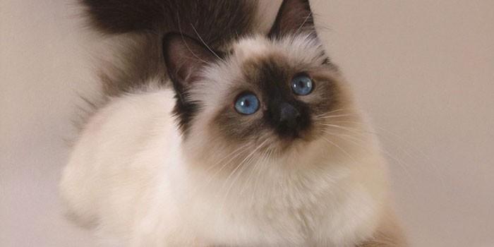 Священная кошка Бирмы