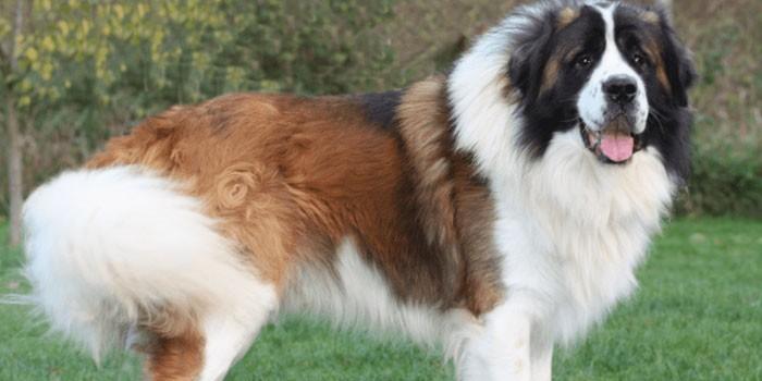 Взрослая собака породы московская сторожевая