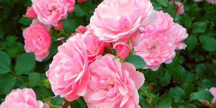 Розовая чайная роза