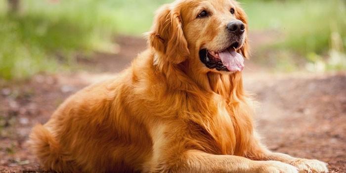 Взрослая собака породы золотистый ретривер