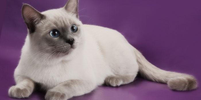 Особенности кошек тайской породы пет класса, почему тайские коты и кошки крякают, пойнты тайских котов