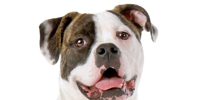 Собака американский бульдог