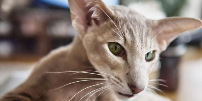 Морда кошки