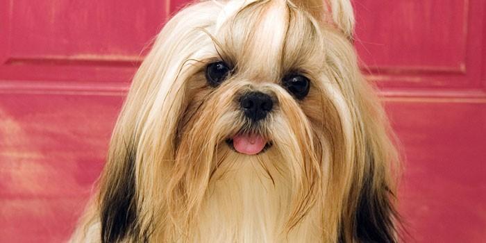 Собака китайских императоров