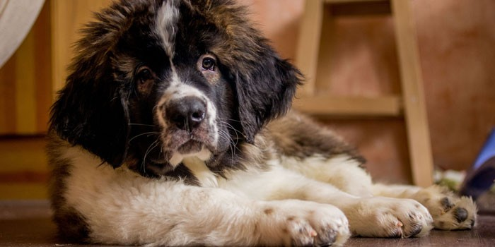 Щенок собаки московская сторожевая овчарка
