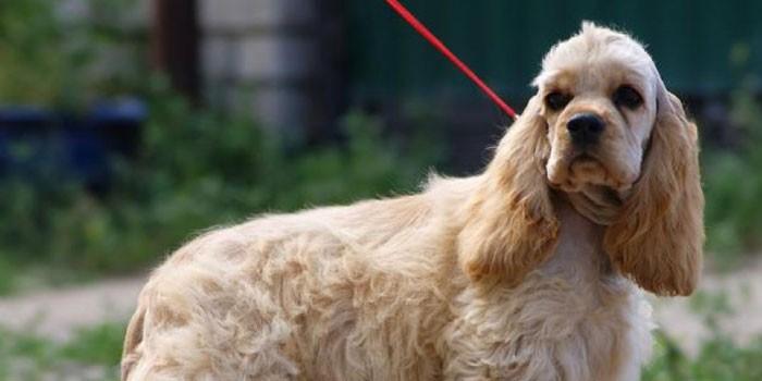 Собака породы американский кокер-спаниель на поводке