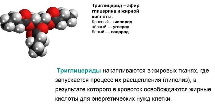 Функции триглицеридов в обменных процессах