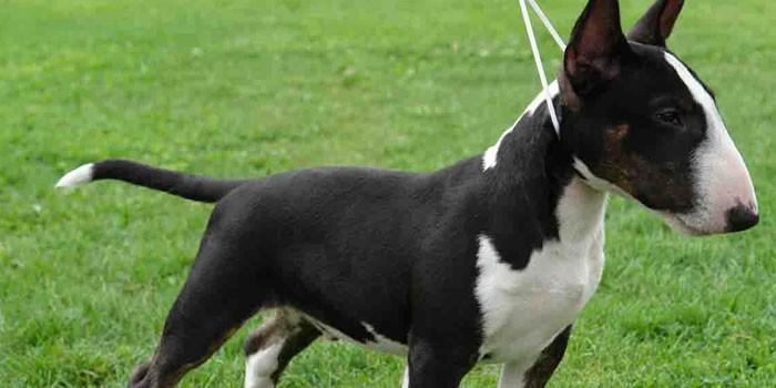 Пес черно-белого окраса