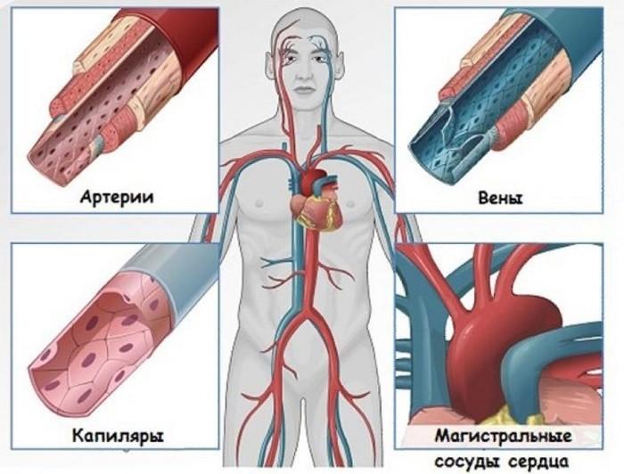 Артерии, вены, капилляры и магистральные сосуды