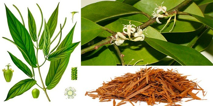 Растение Муира пуама