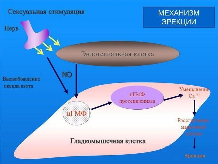 Механизм эрекции